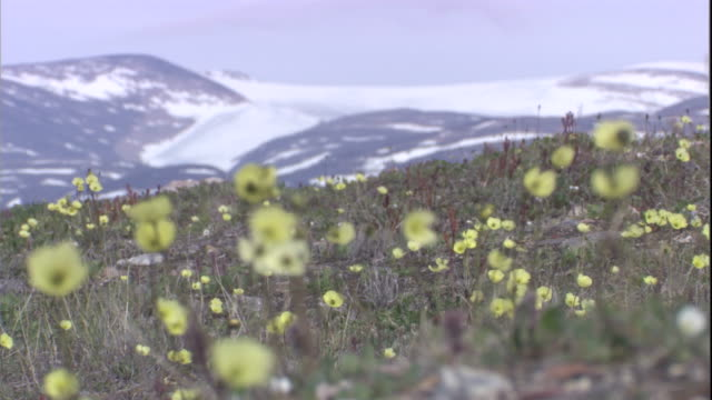 arctic poppies tremble in a breeze on tundra. available in hd. - arktis stock-videos und b-roll-filmmaterial