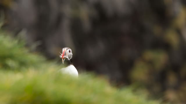 arctic puffins in the wild with sand eels - sea water bird stock videos & royalty-free footage
