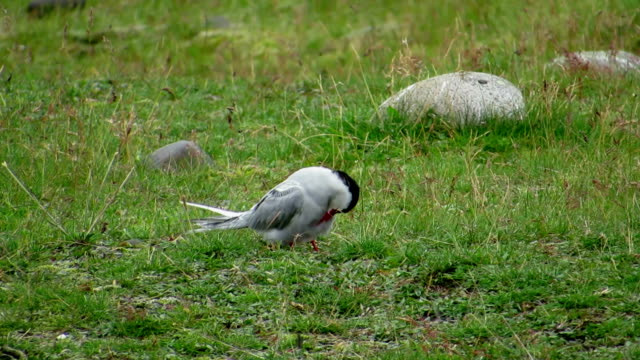 Arctic Tern Cleaning Feather