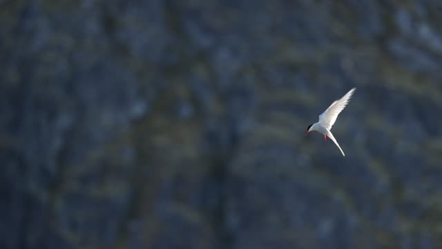arctic tern hovering above water's edge - polar climate stock videos and b-roll footage