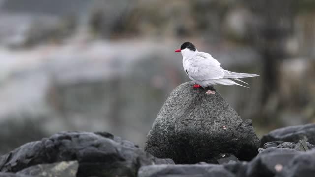 Arctic Tern sitting on rock in light rain