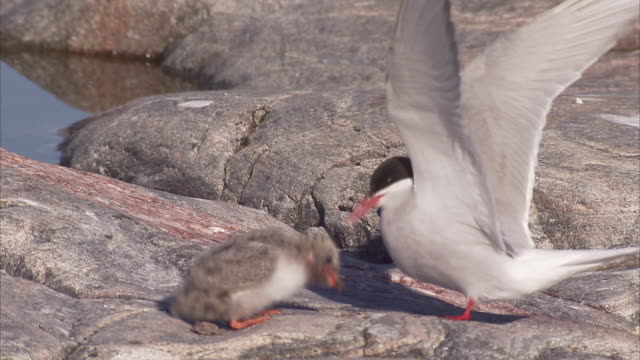Arctic tern (Sterna paradisaea,) tiny chick being fed, Manning Island, Nunavut, Canada