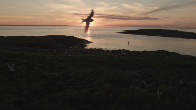 Arctic terns (Sterna paradisaea) fly in front of setting sun, Farne Islands, England