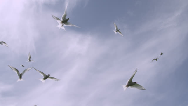 Arctic terns (Sterna paradisaea) fly overhead in colony, Farne Islands, England
