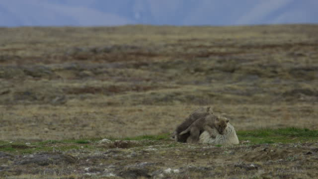 3 arctic wolf cubs play fight and climb over adult with heat haze - small group of animals stock videos & royalty-free footage
