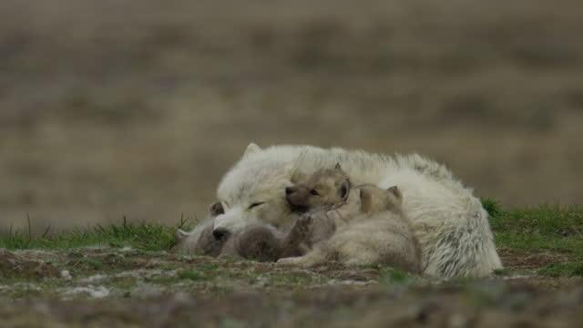 vídeos y material grabado en eventos de stock de arctic wolf lying in a pile with cubs - grupo pequeño de animales