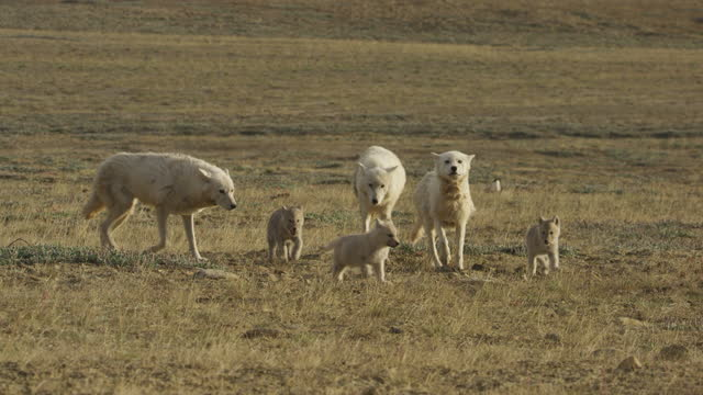 slomo arctic wolf pack with cubs walking towards camera - medium group of animals stock videos & royalty-free footage