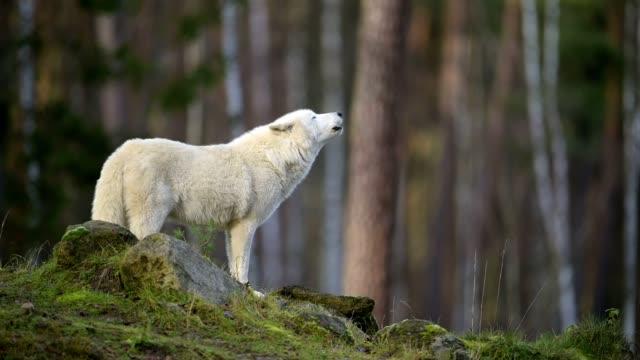 arctic wolf, polar wolf, canis lupus arctos - wolf stock videos & royalty-free footage