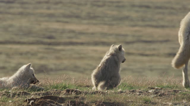 ms arctic wolf standing with cubs  then walking away - arctic stock videos & royalty-free footage