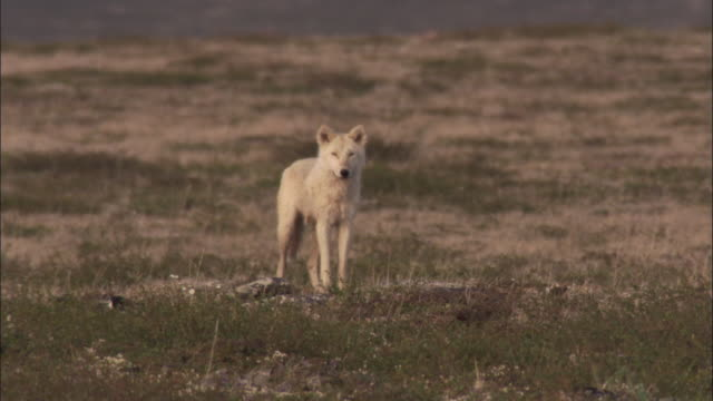 arctic wolf watches caribou on tundra, nunavut, canada - wolf stock videos & royalty-free footage
