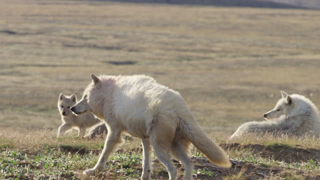 ms pan arctic wolf with bloody fur walking from camera to greet cubs - arctic stock videos & royalty-free footage