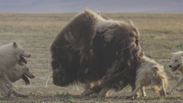 slomo arctic wolves attack the rump of musk ox and it turns to shake them off - medium group of animals stock videos & royalty-free footage