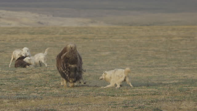 slomo 2 arctic wolves fight with musk ox whichs runs towards camera as 3 other wolves attack calf in background - hunting stock videos & royalty-free footage