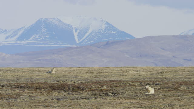 ws 2 arctic wolves lying on tundra and howling with heat haze - snowcapped mountain stock videos & royalty-free footage