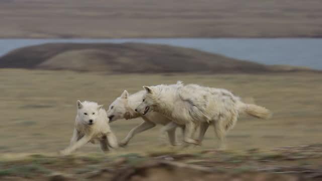 slomo pan arctic wolves  play fighting near den - three animals stock videos & royalty-free footage