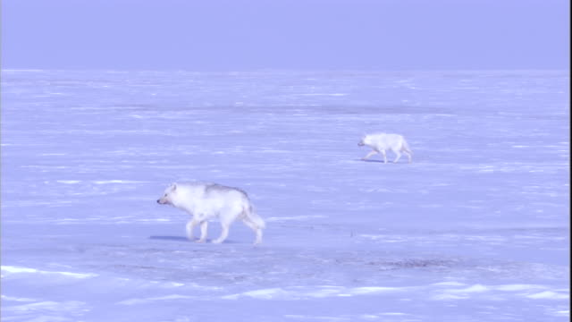 Arctic wolves roam the snowy tundra of the Canadian Arctic. Available in HD.
