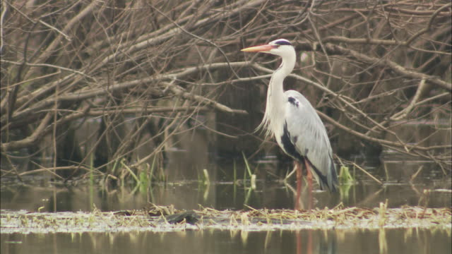 ardea cinerea(grey heron) at sarobetsu plain in hokkaido - one animal stock videos & royalty-free footage
