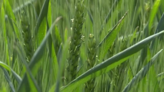 stockvideo's en b-roll-footage met argentina se convirtió en el primer país del mundo en aprobar la comercialización de trigo transgénico, tras un desarrollo realizado en el país... - agricultura