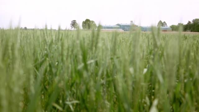 stockvideo's en b-roll-footage met argentina, uno de los mayores exportadores de alimentos del mundo, se convirtió en el primer país en aprobar la comercialización de trigo... - agricultura