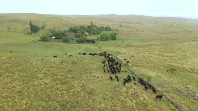 argentine cattle ranch and herd returning from grazing - argentina video stock e b–roll