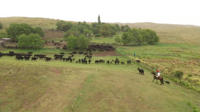 gaucho argentino dopo la mandria di bestiame al ranch - argentina video stock e b–roll
