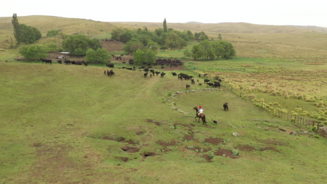 argentine gaucho on horseback returning to ranch with cattle - ranch stock videos & royalty-free footage
