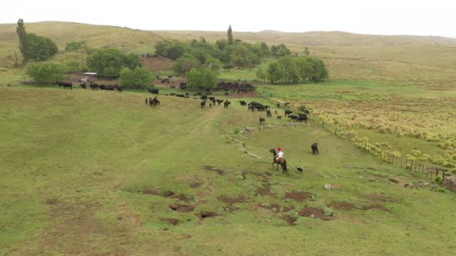 馬に乗ったアルゼンチンのガウチョが牛と一緒に牧場に戻る - アルゼンチン点の映像素材/bロール