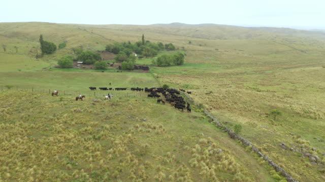 vídeos y material grabado en eventos de stock de gauchos argentinos y rebaño de ganado regresan a rancho - argentina