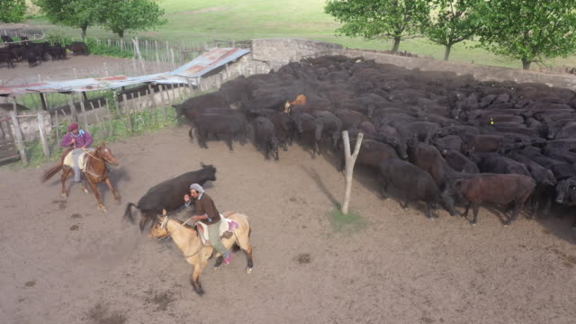 argentine gauchos herding aberdeen angus cattle - animal pen stock videos & royalty-free footage