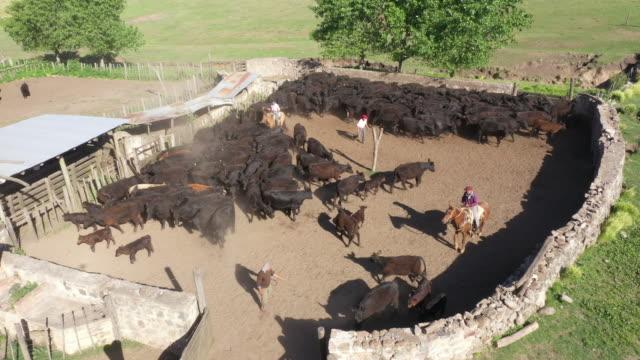 vídeos de stock e filmes b-roll de argentine gauchos on foot and horseback working cattle - gado animal doméstico