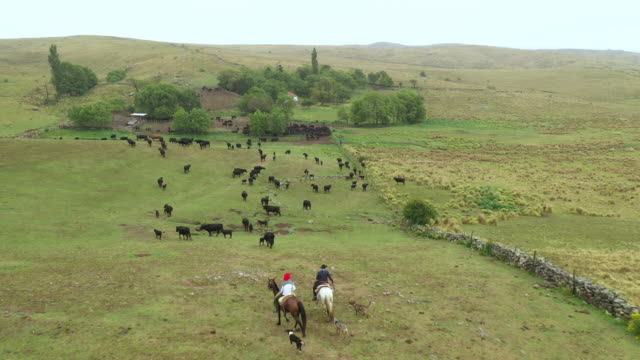 argentine gauchos returning to ranch with dogs and herd - rancher stock videos & royalty-free footage