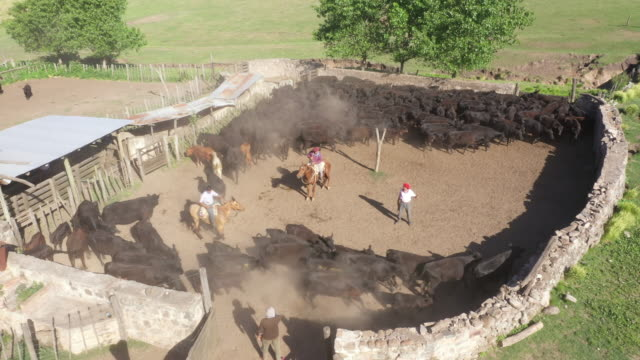 argentine gauchos sorting cattle herd in ranch enclosure - argentinian culture stock videos & royalty-free footage