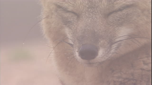 argentine grey fox in desert mist, atacama, chile - condensation stock videos and b-roll footage