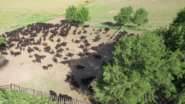 argentine herd of aberdeen angus cattle in corral - cattle stock videos & royalty-free footage