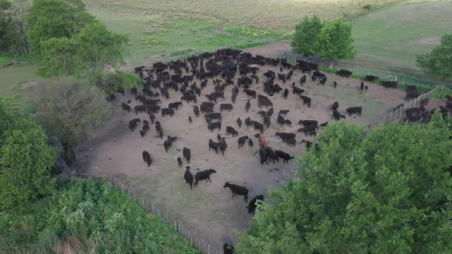 argentine herd of aberdeen angus cattle roaming in ranch pen - cultura argentina video stock e b–roll