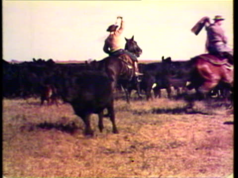 1953 ws ms pan argentinean cowboys round up cattle / argentina / audio - arbeitstier stock-videos und b-roll-filmmaterial