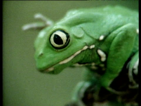 "vidéos et rushes de argentinean varnishing frog rubbing side of head with hind-legs and stares at camera. - ""bbc natural history"""