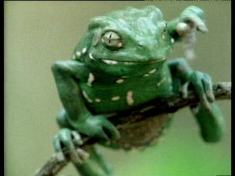 argentinean varnishing frog rubs face with forelimbs and stares at camera. - animals in the wild stock videos & royalty-free footage
