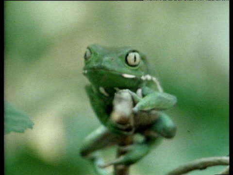 "vidéos et rushes de argentinean varnishing frog slowly climbs branch and stares into distance. - ""bbc natural history"""