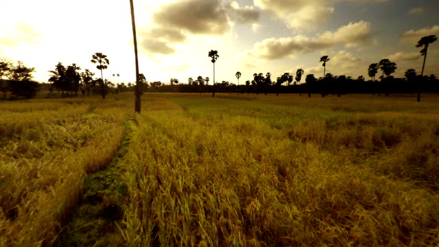 luftbild harvest feld - rice paddy stock-videos und b-roll-filmmaterial