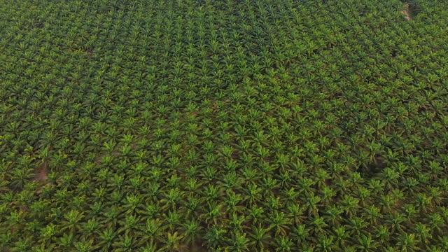 arial utsikt över grön palmoljeplantage i östasien. - palm bildbanksvideor och videomaterial från bakom kulisserna