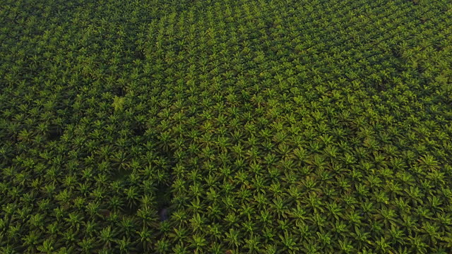 arial view of green the palm oil plantation at east asia. - palm tree stock videos & royalty-free footage