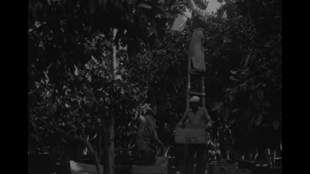 stockvideo's en b-roll-footage met arid landscape with sparse vegetation / vs oranges on branches of tree worker harvesting fruit closer view of bearded man's face as he and others... - palestijnse gebieden