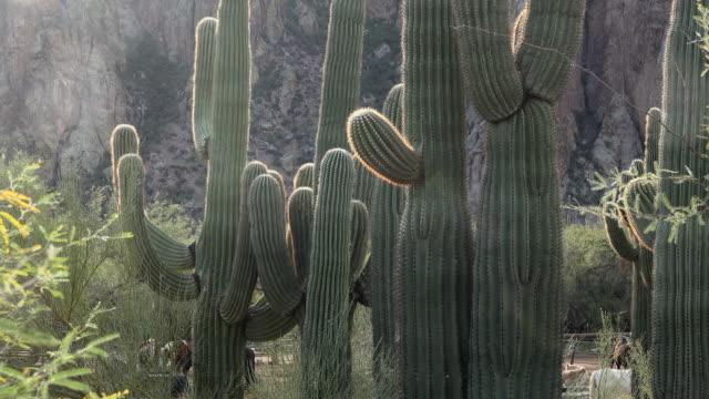vídeos y material grabado en eventos de stock de arizona cacti zooms in - cactus saguaro