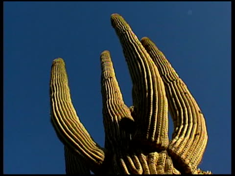 vídeos y material grabado en eventos de stock de town and desert more of giant saguaro cactus including close ups of side of plant showing ridges - cactus saguaro