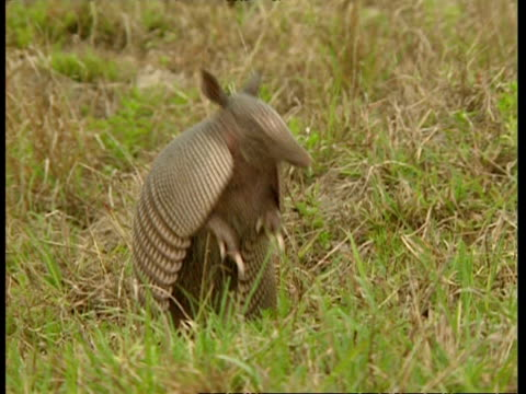 MS Armadillo standing on hind legs to sniff the air