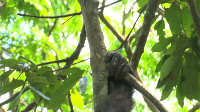 Arms and back of Bonobo climbing up a tree in tropical jungle