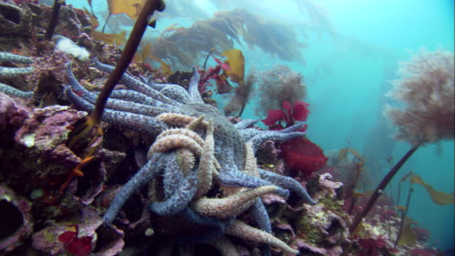 arms intertwine as a cluster of starfish mate on a coral reef. available in hd. - ヒトデ点の映像素材/bロール