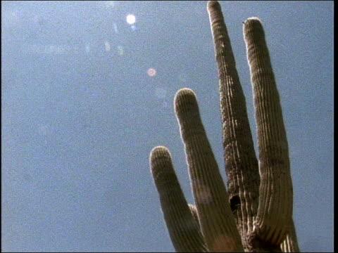 stockvideo's en b-roll-footage met arms of a saguaro cactus reach toward clouds as they form in the sky. - bedektzadigen