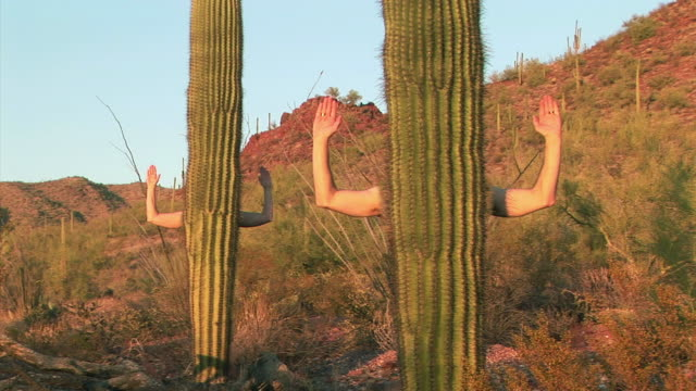 ms arms reaching out from trunk of saguaro cactus (carnegiea gigantea) / tucson, arizona, usa - 隠れる点の映像素材/bロール